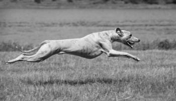 http://www.staceybarr.com/images/greyhoundrunning.jpg