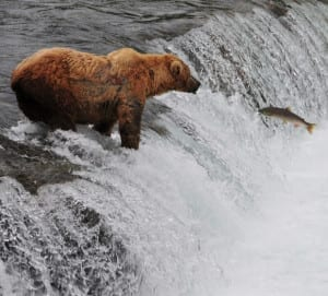 Alaska Bear Salmon Catch