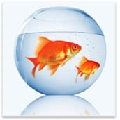 two gold fish in a bowl